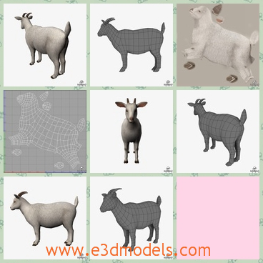 3d model a goat with two short ears - This is a 3d model about a goat with two ears and a short tail.The model has one with more fur than the other one.