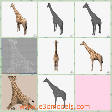 3d model a long neck giraffe - This is a 3d model about a long neck giraffe,and the long neck makes it convenient for it to eat leaves,which has spots on the body regularly.