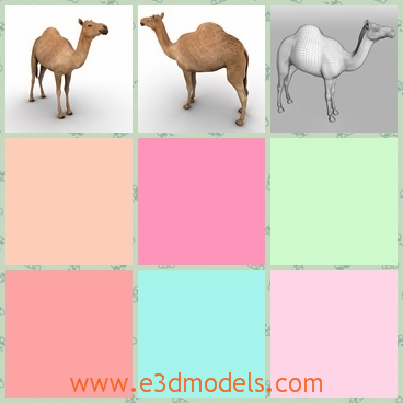 3d model the camel with one hump - This is a 3d model of the camel with one hump,which is tall and thin.There are two humps on the back of camels actually and the model is special.
