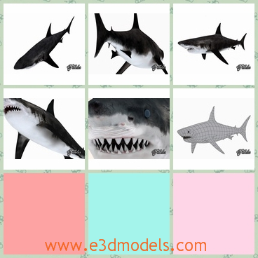 3d model the white shark with horrible teeth - This is a 3d model of the white shark,which has many horrible teeth in its mouth.The model is big and terrible.