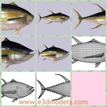 3d model the yellow fish - This is a 3d model of the yellow fish,which is existed among the larger tuna species, reaching weights of over 400 pounds 180kg.