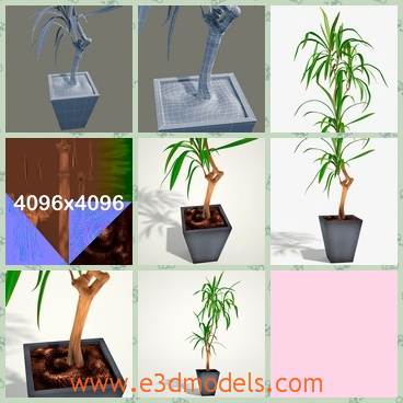 3d model of a dracaena marginata - This is an ornate 3d model of a dracaena which is growing in a pot. It is a high quality 3d model which can add more details and realism to your projects.