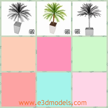 3d model of a potted palm tree - There is a 3d model which is about a healthy palm tree growing in a white pot. This palm tree has many green leaves on the top of the trunk.