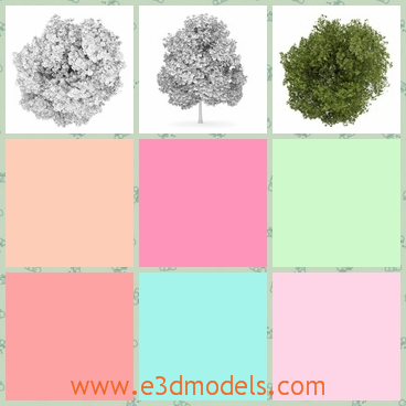 3d model the deciduous tree - This is a 3d model of the deciduous tree,which is blooming and charming.The model is the kind from America.