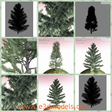 3d model the pine tree - This is a 3d model of the pine tree,which is the kind of evergreen tree and the model is blooming.