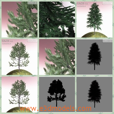 3d model the spruce tree - This is a 3d model of the spruce tree,which is rare in the China and the tree is tall and strong.