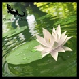 3d model the lily in the water