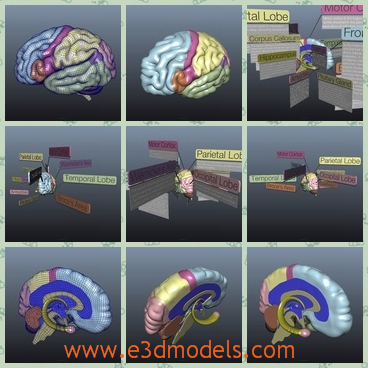 3d model the brain of humans - This is a 3d model of the brain of humans,which is curved and it is a part of the organ system.