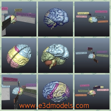 3d model the brain with labels - This is a 3d model of the brain with labels,which tells us the information of the brain.This model is sliced into parts frontal lobe, motor cortex, etc.