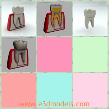 3d model the fake tooth - This is a 3d model of the fake tooth,which is big and hard.The model is made according to the animals.