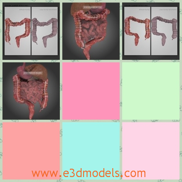 3d model the highly detailed colon of human - This is a 3d model of the highly detailed colon of human beings,which is the internal part of people.