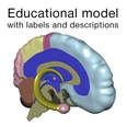 3d model the brain of humans