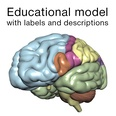 3d model the brain with labels