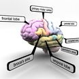 3d model the human brain