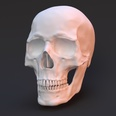 3d model the skull of a human